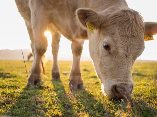 La carne bovina di razza Romagnola